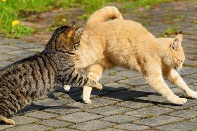 Katzen streiten sich